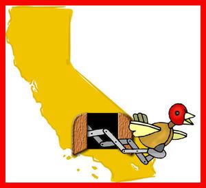 California_cuckoo